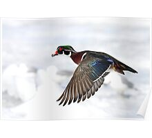 Wood Duck on High Poster