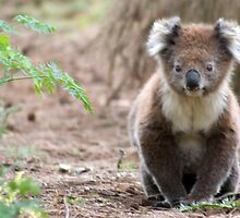 Koala by Katrina Freckleton