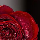 Red Rose macro 2 by John Velocci