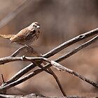 Song Sparrow by WiredMarys