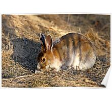 Tiger Hare Poster