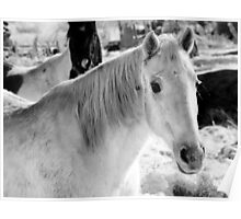 White Frosty Horse Poster