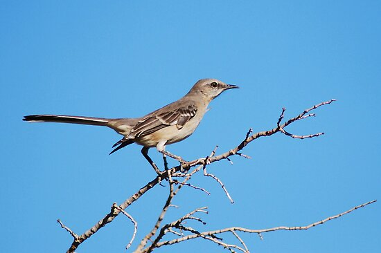 Northern Mockingbird by Tori Snow