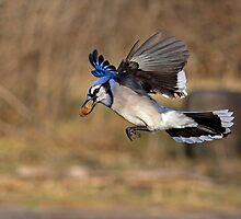 Have nut - Will travel - Blue Jay by Jim Cumming