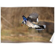 Have nut - Will travel - Blue Jay Poster