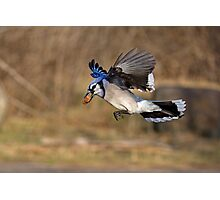 Have nut - Will travel - Blue Jay Photographic Print