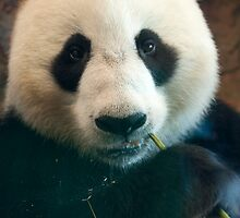 Giant Panda by Cathy Grieve
