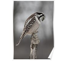 Northern Hawk Owl checks his claws Poster