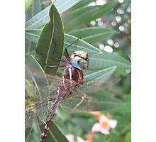 Dragonfly Sitting On  Oleander Bush Leaves. Photographic Print
