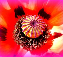 Oriental Poppy Portrait by ©The Creative  Minds