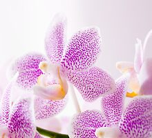Pink Orchids by moonbloom