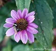 Bee on Coneflower by Judy Lawhon
