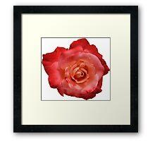 Ombré Red Garden Rose I - Hipster/Pretty/Trendy Flowers Framed Print