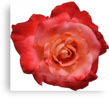 Ombré Red Garden Rose I - Hipster/Pretty/Trendy Flowers Canvas Print