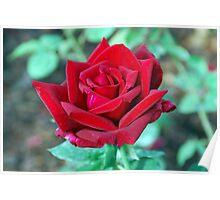 Rosa variedad Papa Meilland Poster