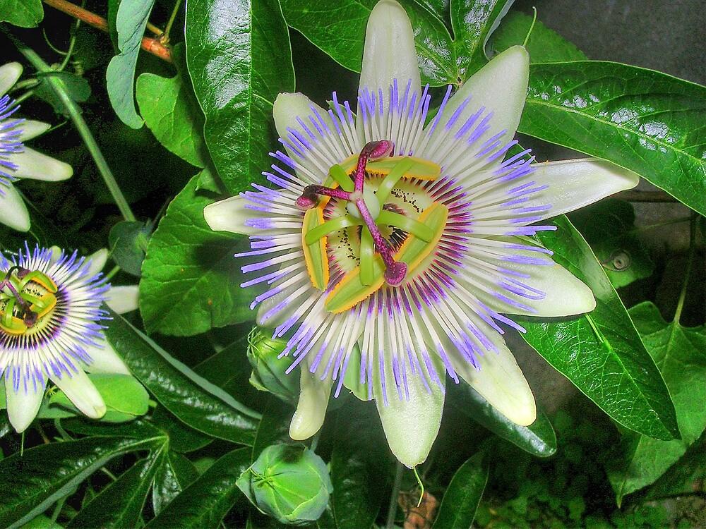 Passiflora caerulea by josemazcona
