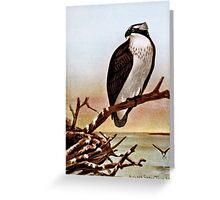 Osprey Bird Vintage Art Greeting Card