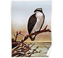 Osprey Bird Vintage Art Poster