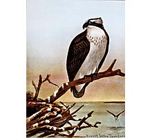 Osprey Bird Vintage Art Photographic Print
