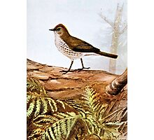 Ovenbird Vintage Bird Art Photographic Print