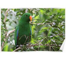 Male Eclectus Parrot Poster