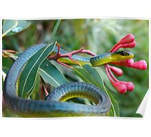 Bluish Green Tree Snake - Dendrelaphis punctulata Poster