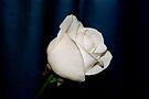 Winter Rose by Sandy Keeton