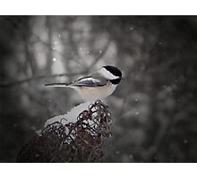 Chickadee In Snow Photographic Print
