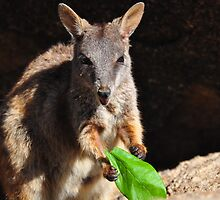 Lunchtime for a Rock Wallaby by Geoff Beck