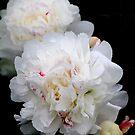 White Peonies by vbk70