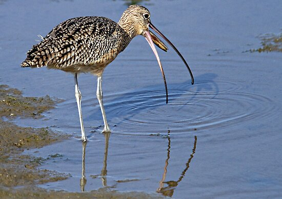 Long Billed Curlew by Michael  Moss