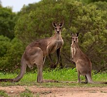 Eastern grey Kangaroos - Australia by Anthony Wilson