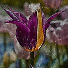 Tulip by JHRphotoART