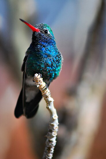 Broad-Billed Hummingbird by Barbara Manis