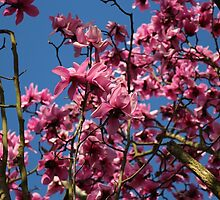 Magnolia blossoms by IngeK73