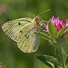 Clouded Yellow butterfly by Hugh J Griffiths