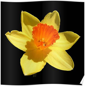 Negative Space Narcissi by taiche