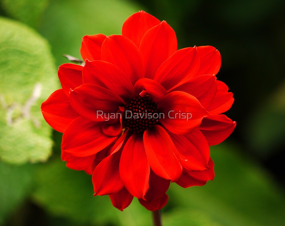Blood Red by Ryan Davison Crisp