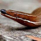 Hang on while I wipe my nose! (Burton's legless lizard)  by Normf