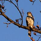 Cooper's Hawk by Lolabud