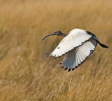 African Sacred Ibis (Threskiornis aethiopicus) by Konstantinos Arvanitopoulos