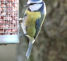 Blue Tit by Catherine Brookes
