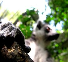 Lemur Fingers by Pippa Carvell