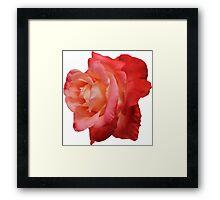 Ombré Red Garden Rose IV - Hipster/Pretty/Trendy Flowers Framed Print