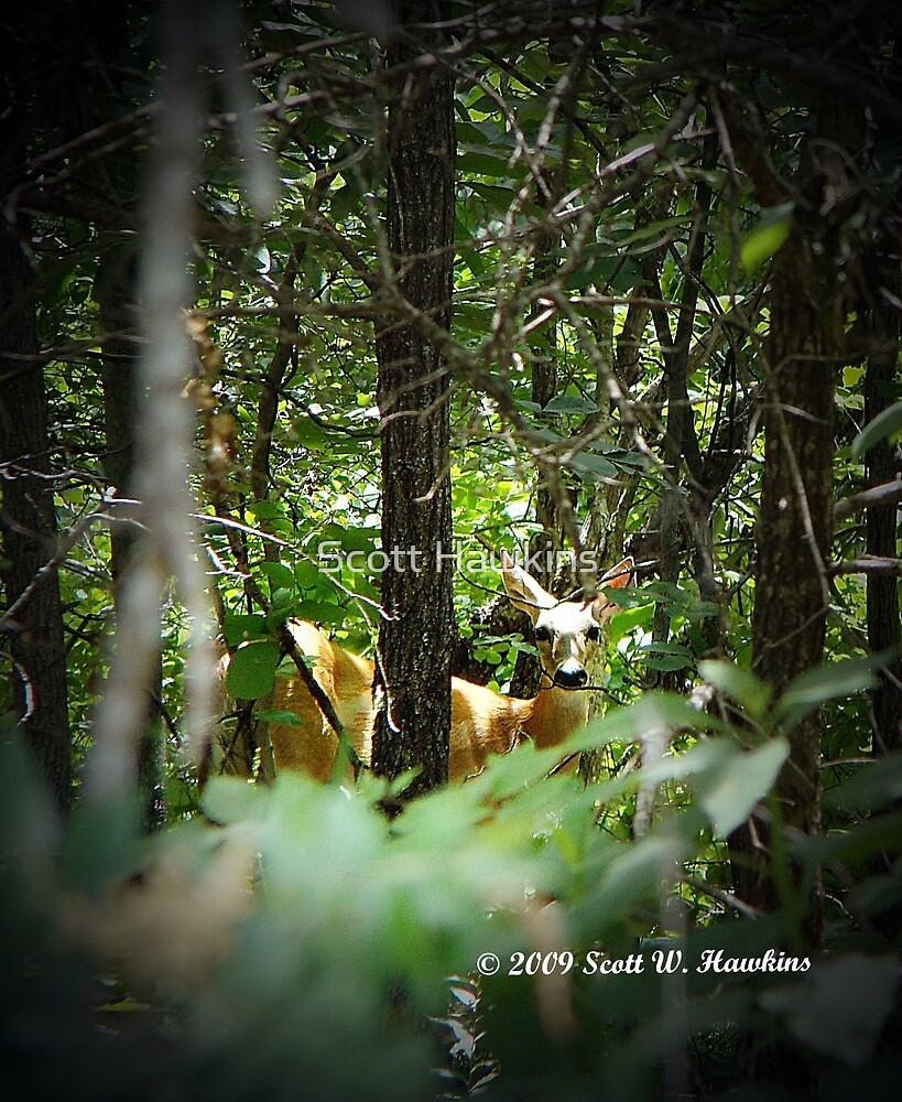 Oklahoma Deer by Scott Hawkins