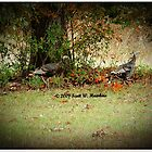 Oklahoma Turkey's by Scott Hawkins