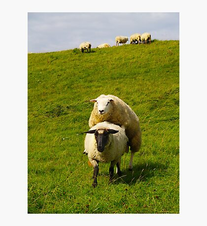 mating sheep Photographic Print