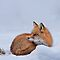 (Land Mammals Category) - Tribe - Vulpini - Foxes