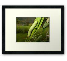 Green caterpillar - Australia Framed Print