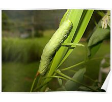 Green caterpillar - Australia Poster